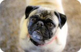 Pug Dog for adoption in Pismo Beach, California - Jade