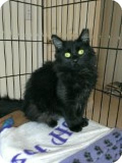 Domestic Longhair Cat for adoption in Manchester, Connecticut - Danny