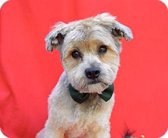 Yorkie, Yorkshire Terrier/Poodle (Standard) Mix Dog for adoption in Irvine, California - Benji