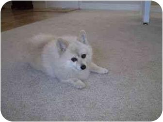 Pembroke Welsh Corgi/Pomeranian Mix Dog for adoption in Lomita, California - Indicca