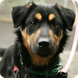 Rottweiler/Shepherd (Unknown Type) Mix Dog for adoption in Bellingham, Washington - Otto
