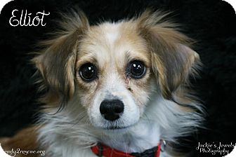 Chihuahua Mix Dog for adoption in Rockwall, Texas - Elliot