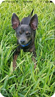 Chihuahua Mix Puppy for adoption in Saddle Brook, New Jersey - RICO