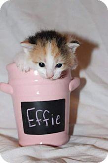 Calico Kitten for adoption in Fredericksburg, Virginia - Effie