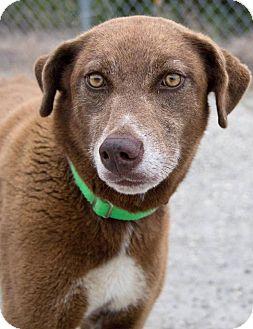Chesapeake Bay Retriever Mix Dog for adoption in Austin, Texas - Raven