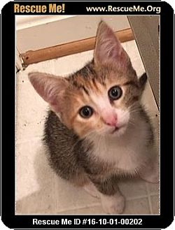 Calico Kitten for adoption in Waldorf, Maryland - Jet