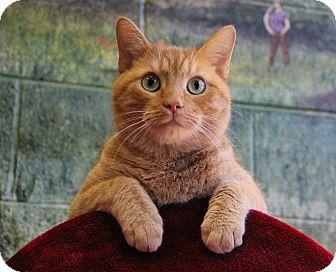 Domestic Shorthair Cat for adoption in Greensboro, North Carolina - Mocheoto
