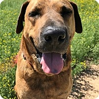 Hound (Unknown Type)/Labrador Retriever Mix Dog for adoption in Phoenix, Arizona - Charlie