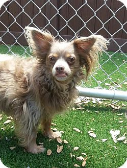 Papillon/Chihuahua Mix Dog for adoption in Stamford, Connecticut - Lady Penny