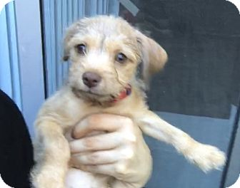 Terrier (Unknown Type, Small) Mix Puppy for adoption in Vancouver, British Columbia - Jon