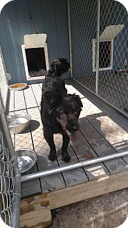Flat-Coated Retriever/Chow Chow Mix Dog for adoption in whiting, New Jersey - Johnny Cash