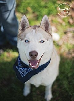 Siberian Husky Dog for adoption in Houston, Texas - Tucker