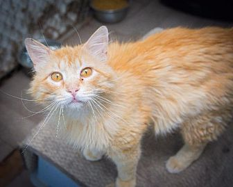 Domestic Longhair Cat for adoption in Corinne, Utah - Topaz