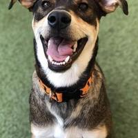 Adopt A Pet :: Simon - Garland, TX
