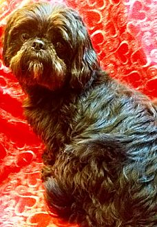 Shih Tzu Dog for adoption in Oswego, Illinois - Andy