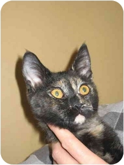 Domestic Shorthair Kitten for adoption in Jenkintown, Pennsylvania - Daisy