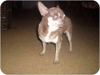 Chihuahua Mix Dog for adoption in springtown, Texas - lil guy