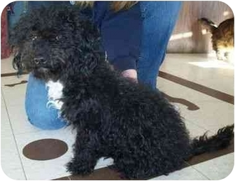 Poodle (Miniature)/Schnauzer (Miniature) Mix Puppy for adoption in North Judson, Indiana - Baby