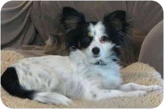 Papillon Mix Dog for adoption in Davis, California - Poppy