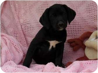 Boxer/Labrador Retriever Mix Puppy for adoption in Salem, New Hampshire - Witchy
