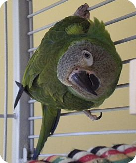 Conure for adoption in Middle Island, New York - Dusky
