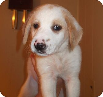 Collie/Australian Shepherd Mix Puppy for adoption in Hagerstown, Maryland - Molly