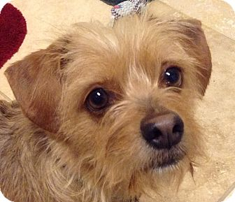Terrier (Unknown Type, Small) Mix Dog for adoption in Dallas, Texas - Tiffy