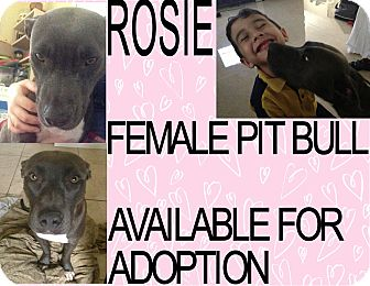 American Pit Bull Terrier Dog for adoption in Hollywood, Florida - ROSIE