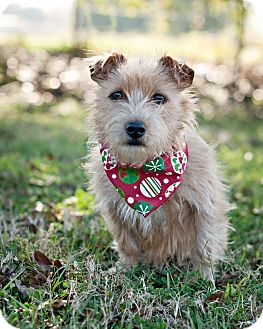 Spitz (Unknown Type, Small) Mix Dog for adoption in Portsmouth, Rhode Island - Hannah Coconut