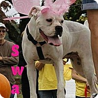 Adopt A Pet :: Swan - MAIDEN, NC