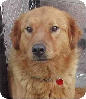 Golden Retriever Mix Dog for adoption in Rolling Hills Estates, California - Jackson