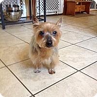 Adopt A Pet :: Piper - Prospect, CT