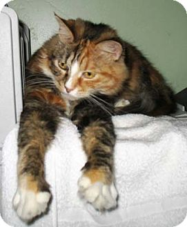 Calico Cat for adoption in Oakland, California - Flower