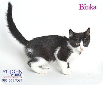 Domestic Shorthair Kitten for adoption in Laplace, Louisiana - Binka