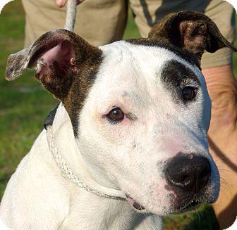 Pit Bull Terrier Mix Dog for adoption in Daytona Beach, Florida - Sam