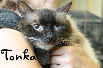 Siamese Cat for adoption in Wichita Falls, Texas - Tonka