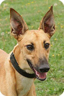 Greyhound Puppy for adoption in Portland, Oregon - Jordan