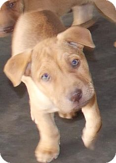 Hound (Unknown Type) Mix Puppy for adoption in Mount Holly, New Jersey - Musketeer