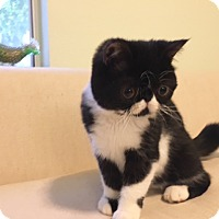 Adopt A Pet :: Sully - Beverly Hills, CA