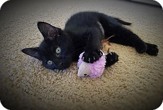 Domestic Shorthair Kitten for adoption in Charlotte, North Carolina - A..  Dorry