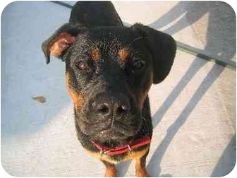 Rottweiler Mix Dog for adoption in New York, New York - Tyson