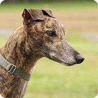 Adopt A Pet :: Amos - Portland, OR