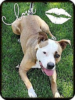 Pit Bull Terrier Mix Dog for adoption in Spokane, Washington - Baxter