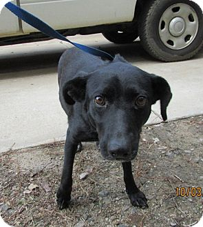 Labrador Retriever Mix Dog for adoption in Warrenton, North Carolina - Mattie