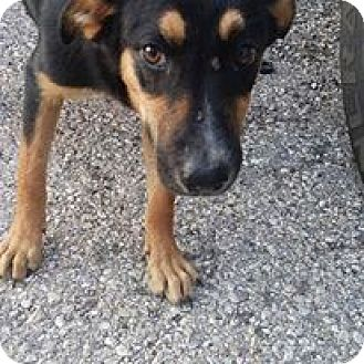Doberman Pinscher/German Shepherd Dog Mix Puppy for adoption in Jarrell, Texas - Sable