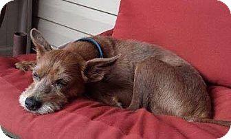 Terrier (Unknown Type, Medium) Mix Dog for adoption in Allentown, New Jersey - Nelson