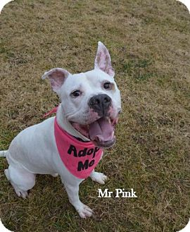American Pit Bull Terrier Dog for adoption in Independence, Missouri - Mr. Pink