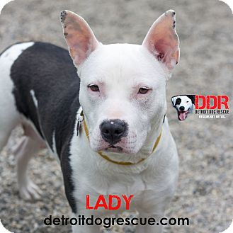 American Pit Bull Terrier Mix Dog for adoption in St. Clair Shores, Michigan - Lady