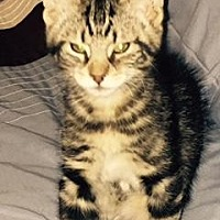 Domestic Shorthair/Domestic Shorthair Mix Cat for adoption in Anderson, Indiana - Westley