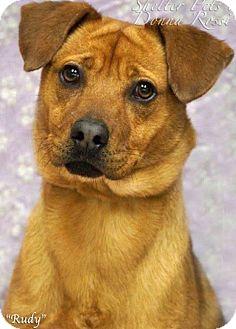 German Shepherd Dog/Black Mouth Cur Mix Dog for adoption in Effort, Pennsylvania - Rudy